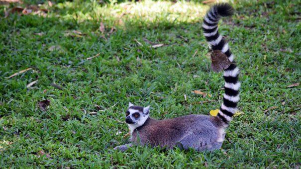 longtail lemur photo